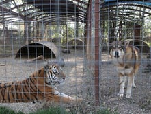 USDA revokes license of troubled Iowa roadside zoo