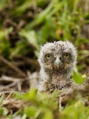 Burrowing owl babies arrive in the spring, usually nine at a time.