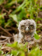 A burrowing owl chick peers from it's Cape Coral burrow.