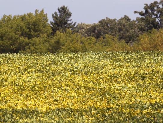 Shorter days cause soybean leaves to turn yellow, a
