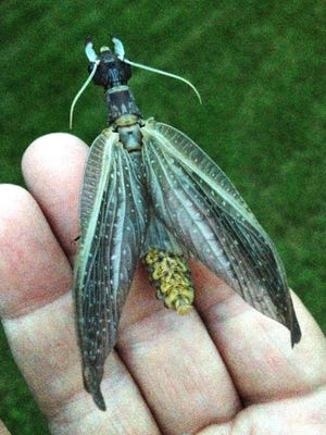 Female dobsonfly from Manitowoc River