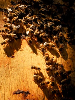 A shortage of extract made from the venom of honeybees, wasps and hornets is stirring concern among allergists.