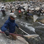 Colorado Parks and Wildlife employees walk in unison upstream at the Big Thompson River by Drake in September with electric probes and nets to gather trout during a fish count.