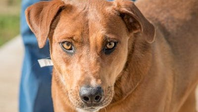 Izzy is a 2 1/2-year-old spayed female up for adoption at Nashville Humane Association.