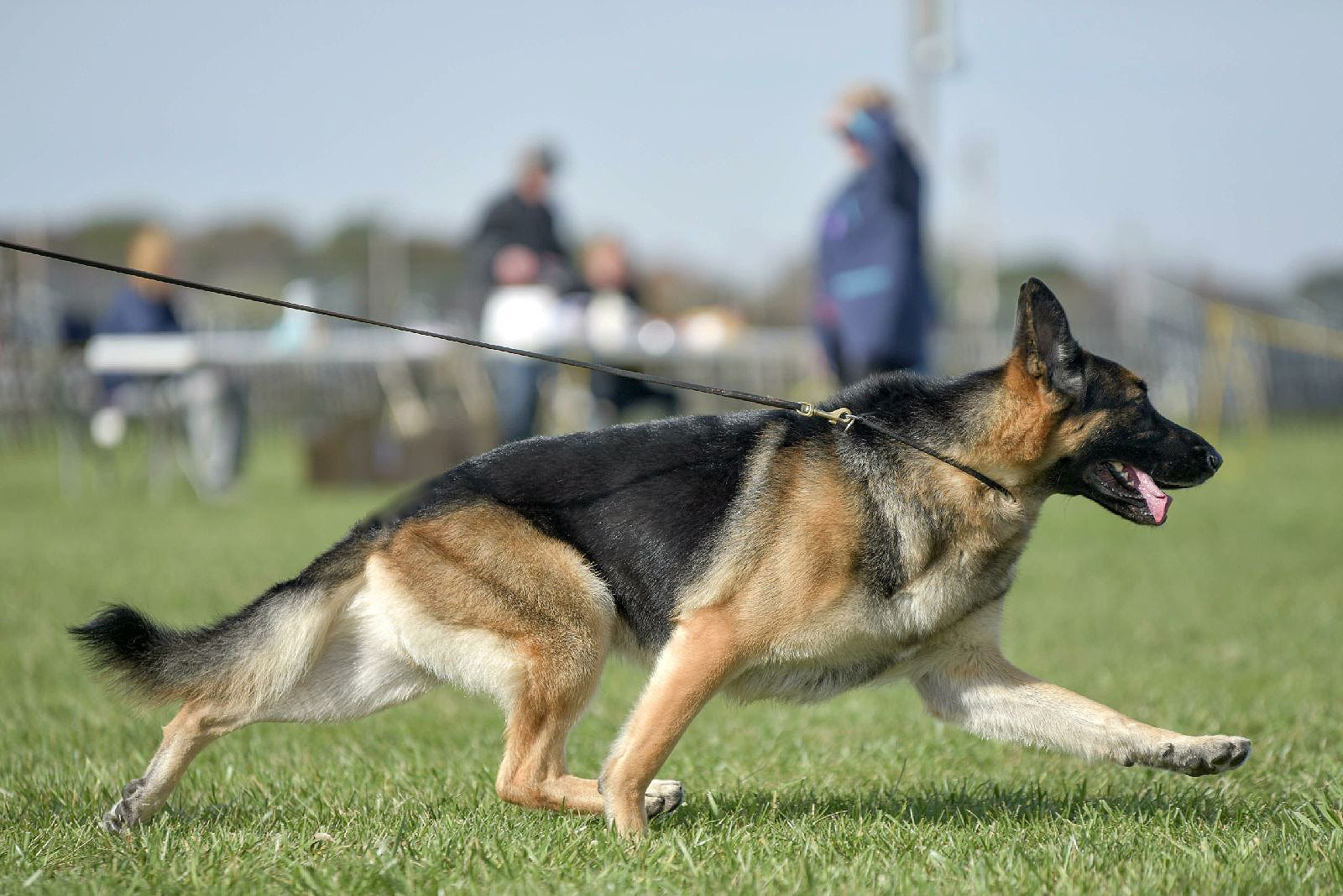 Image of: Training Delawareonlinecom Freak Accident Ends Delaware German Shepherds Run At Westminster