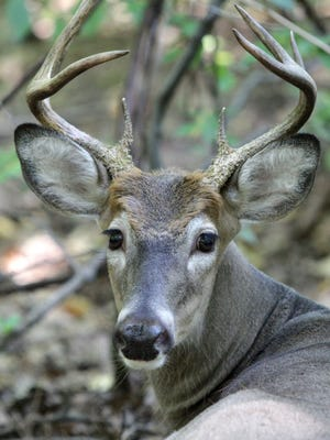 A whitetail deer.