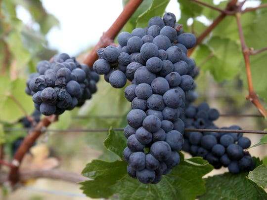 Pinot noir grapes wait to be picked.