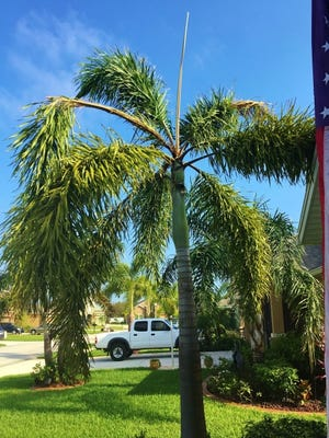 Foxtail palms are tolerant of drought and low nutrient conditions if you don't mind leaves that are not fully green and healthy looking. Unfortunately, the look most Florida gardeners and homeowners want is a lush, dark green palm. Nutrient deficiencies, such as pictured, often cause the palm to look less than perfect.