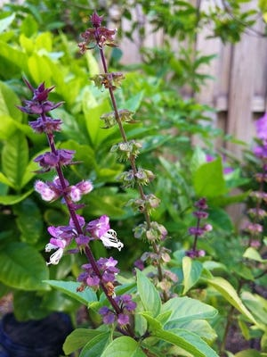 Thai Basil is an easy herb for gardeners. Usually, it is best to remove the flower/seed spikes to keep the plants growing leaves for the kitchen. Let a few spikes go to seed; once seeds dry, collect and use to make seedpaper for gifting.