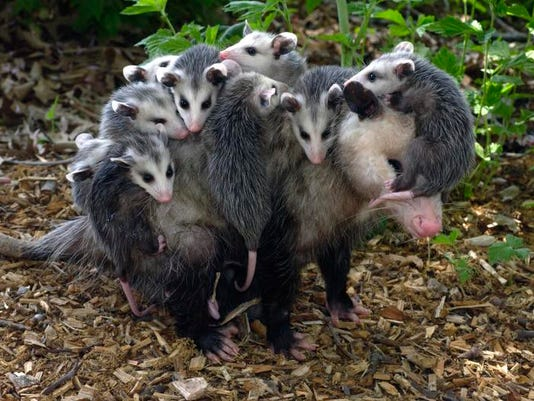 opossum with young49.jpg