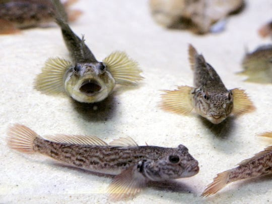 Round gobies are an invasive species in the Great Lakes.