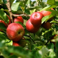 Organic apples are seen at an orchard near Timberville, Va. Cider is considered one of the next big beverages in Oregon.
