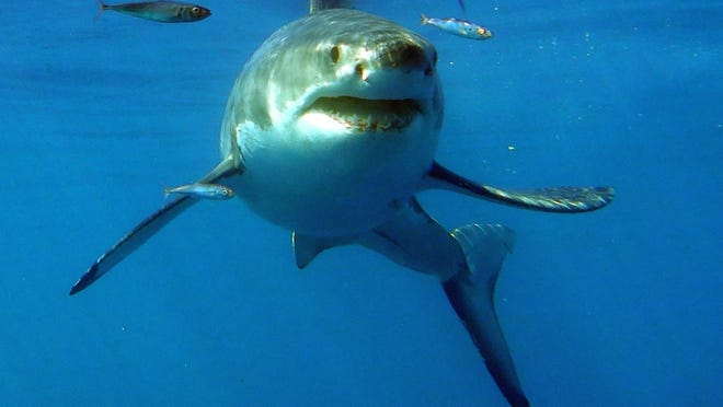 Great white sharks visit local waters from June to the end of October.