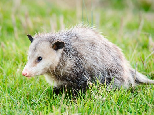 Possum in grass