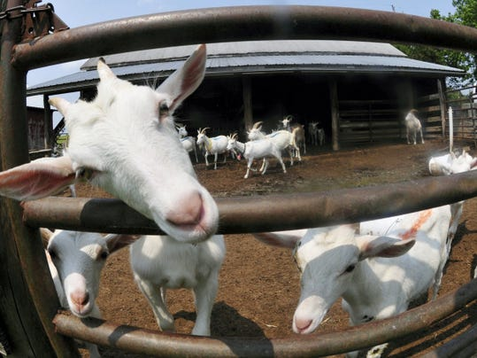 Goats peer through gates at a farm Wednesday at Brad Parker's Pipe Dreams Dairy, Greencastle. Parker makes cheese sold in shops and restaurants in major cities around the country, using goat's milk.