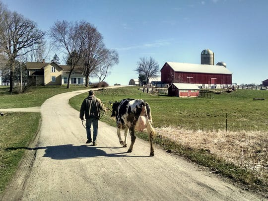 Steve Lichty and his wife Dori have been milking cows since 2005, when they rented various farms -- moving their herd and household as conditions changed. They purchased this farm three years ago, with dairy dreams for themselves and their young daughter and son. Here Steve is leading a fresh heifer up their driveway. Now they are faced with the loss of their milk market -- they were one of 75 farm families who got a termination notice last week from Grassland Dairy Products.