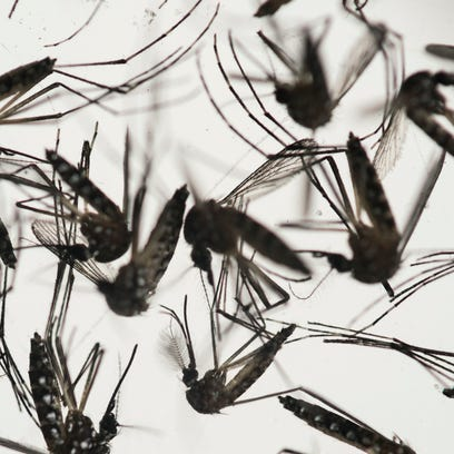 Samples of Aedes aegypti mosquitoes, responsible for