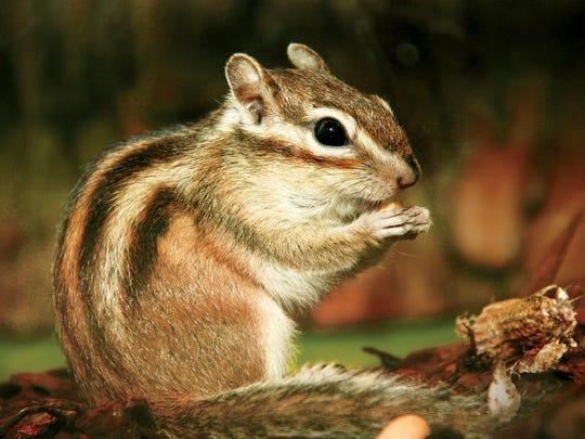 Chipmunks have just two light stripes on their backs,
