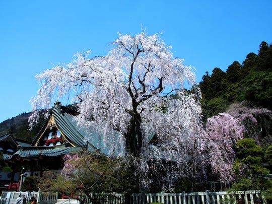 Cherry blossoms at Kuonji Temple at Minobu City in