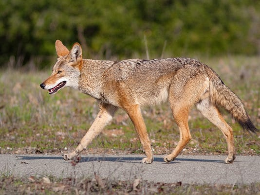 Coyote (Canis latrans)
