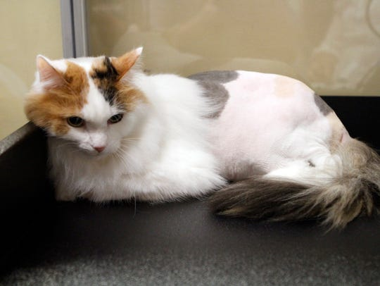 Molly, a long-hair domestic Calico, is a first time