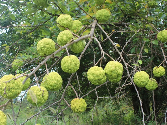 A story about the Osage orange tree attracted lots of attention on Facebook.