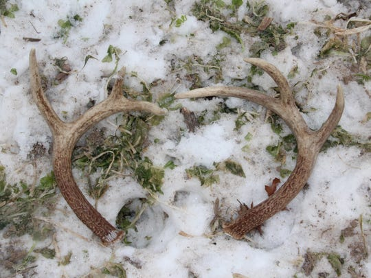 A pair of shed antlers, presumably from the same white-tailed deer, were found about 15 feet apart in a field in Richland County.