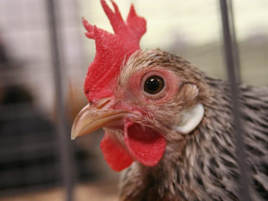 Chickens and poultry made a comeback this year at the