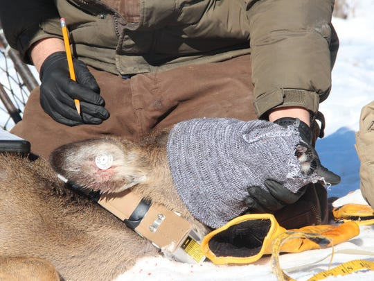 A DNR researcher supports the head of a white-tailed deer as it is blindfolded and fitted with a GPS collar for a research study in southwestern Wisconsin.