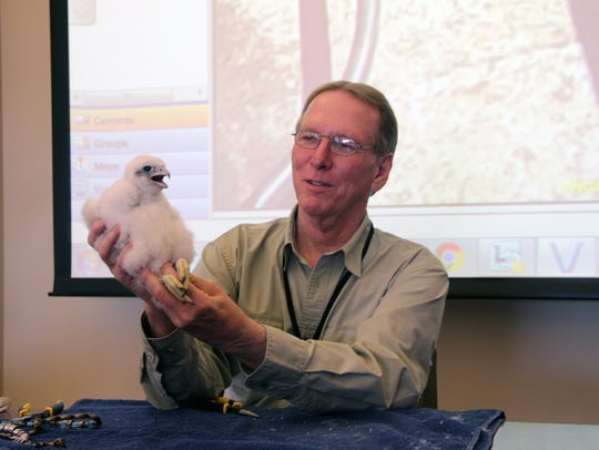 Greg Septon, founder of the Wisconsin peregrine falcon recovery project, holds a male peregrine chick at a We Energies plant in Port Washington. The chick was the 1,000th peregrine Septon has banded in Wisconsin over the last 30 years.