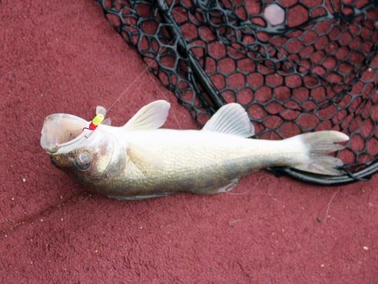 A 16-inch-long walleye is landed at 12:54 p.m. on Aug.