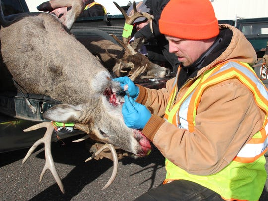 A DNR wildlife technician removes lymph nodes from a white-tailed deer for CWD testing. Since the first cases of the fatal deer disease were identified in Wisconsin in 2002, CWD has spread geographically and increased in prevalence in the Badger State.