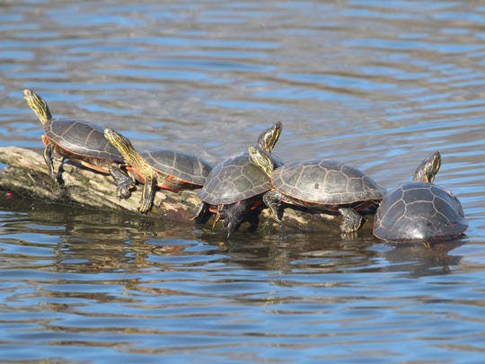 Painted turtles bask in sunshine on a log in the Chetek