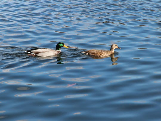 A drake and hen mallard swim on a Wisconsin waterbody.