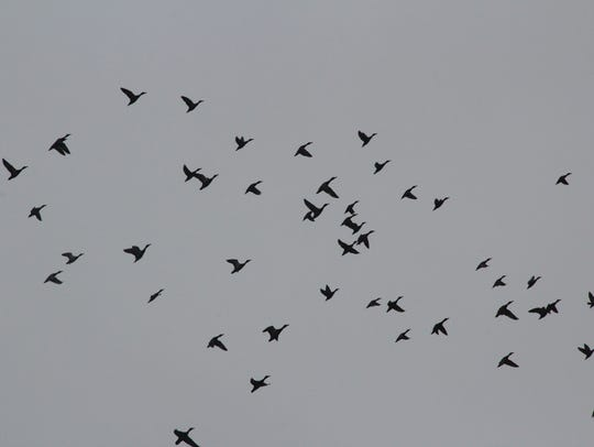 Ducks fly over Horicon Marsh.