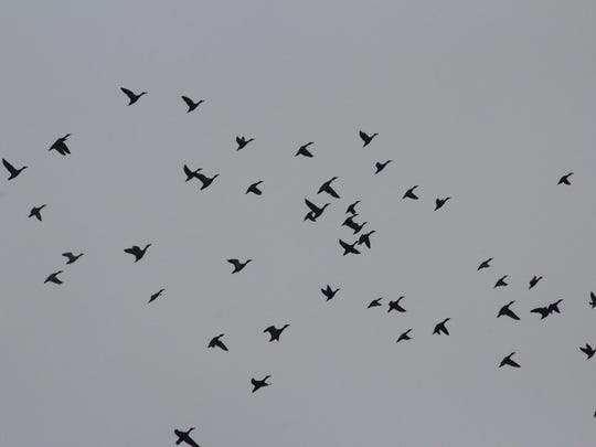 Ducks fly over Horicon Marsh.