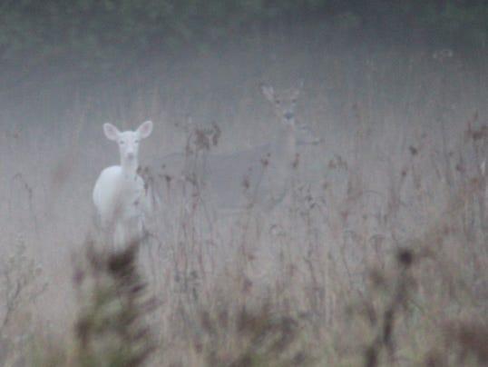 122313albino-deer2