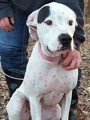 Stella is a young, spayed female American bulldog/boxer