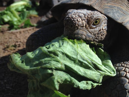 Toroise munches on greens