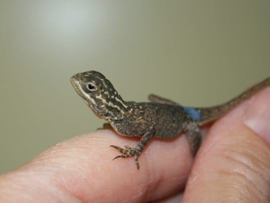 zoo.hatchling agama in hand - Copy