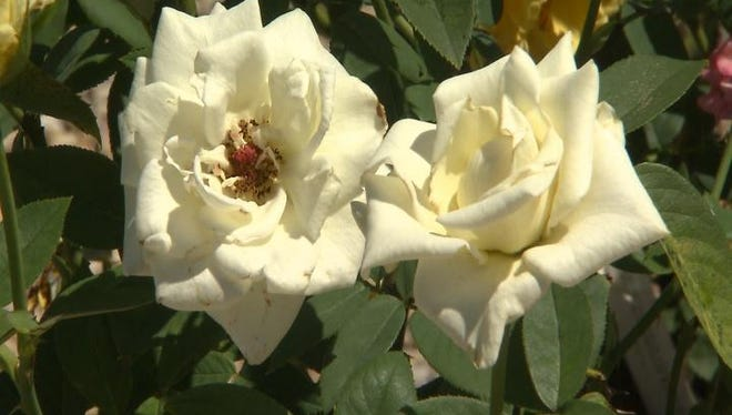 Choose the right roses for your garden.