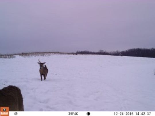 A trail cam photo taken Dec. 24, 2016, in Richland County shows a buck with one antler walking across a snow-covered field.