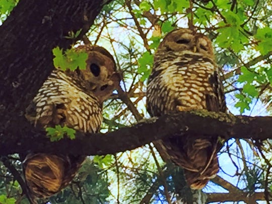 Two Mexican Spotted Owls are perched on a tree branch