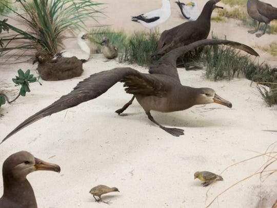 Black-footed albatrosses, an extinct Laysan Rail (lower left), and the endangered Laysan Finch (lower right) are seen on display in the Laysan Island Cyclorama at the University of Iowa Museum of Natural History.
