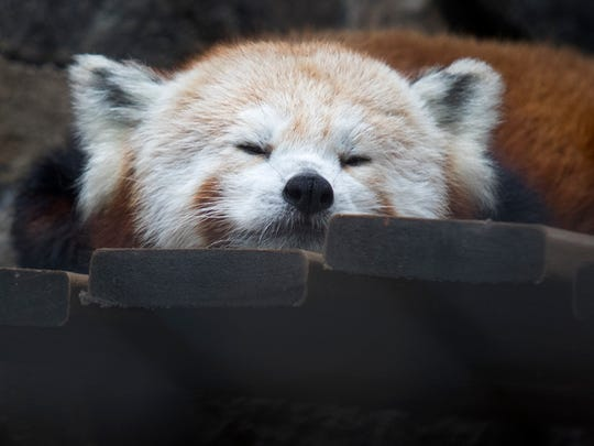 Mohu a 4-year-old female red panda naps in her new home at the Brandywine Zoo Wednesday afternoon. Mohu is one of two new red pandas at the Zoo.