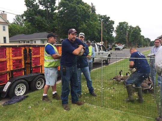 DCA 0703 goose removal 2