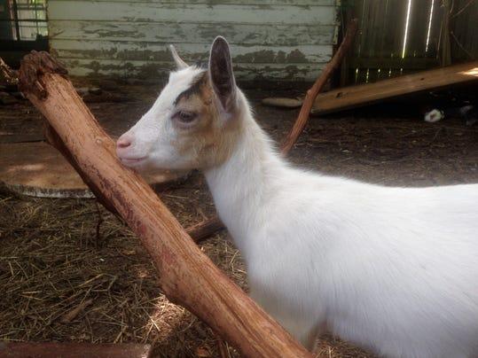Goats-handout-10.JPG
