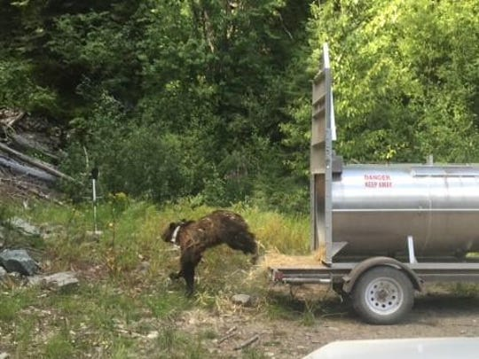 Big leap for recovery: A grizzly bear takes off into the Kootenai National Forest after it was released Monday. There are currently about 25 grizzlies in the Cabinet Mountains.