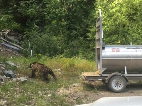 The grizzly bear that was relocated into the Cabinet Mountains was a 3 1/2-year-old male.