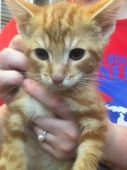 Kota is an adorable, striped, male domestic short hair